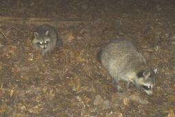 "Two racoons, not in the Double ""D"" gravity deer feeders"