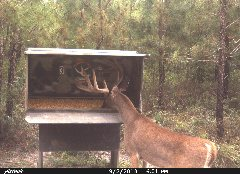 "Large White tail deer in a Double ""D"" gravity deer feeder."