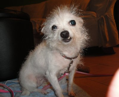 ... Photos - Maltese Long Haired Chihuahua Mix Hypo Long Haired Chihuahua