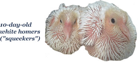 10-day-old White Homing Pigeons (Squeakers)