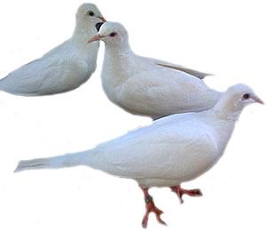 White Ring Neck Dove