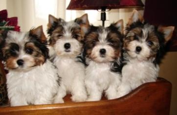Biewer Puppies for Sale | Biewer Yorkshire Terriers | Biewer