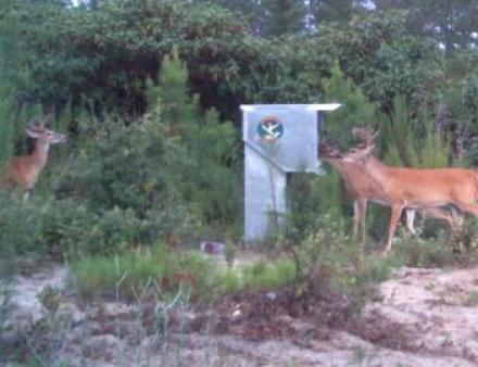 "Three bucks at the big buck Double ""D"" gravity deer feeder"