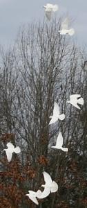 Book a Dove Release