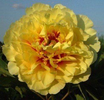 Hollingsworth Peonies Garden Treasure