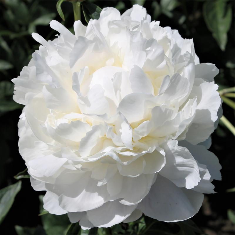 Hollingsworth peonies white frost white frost mightylinksfo