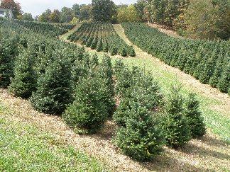 home - Christmas Tree Farm Asheville Nc