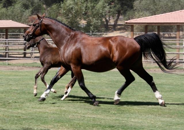 Almeline Z (Molly) - Zangersheide registered bay mare.