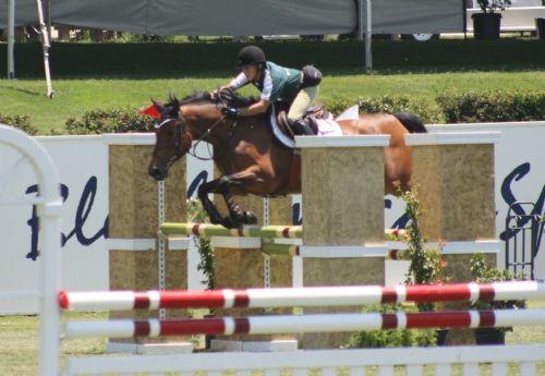 Coup D'Etat - Jumper/Equitation/Eventer