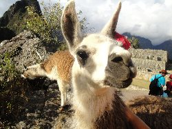 Resident at Machu Picchu