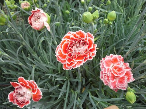 Dazzling Dianthus