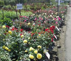 Shrub Rose Collection