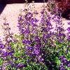 False Indigo - 2010 Perennial Plant of the Year