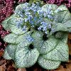 Jack Frost Bugloss