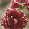 Black Cherry Pinks