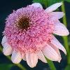 Secret Romance Coneflower