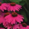 PowWow Wildberry Coneflower