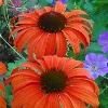 Tangerine Dream Coneflower