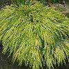 Stripe It Rich Japanese Forest Grass