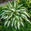 Cool As Cucumber Plantain Lily