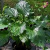 Irish Luck Plantain Lily