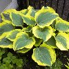 Majesty Hosta