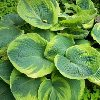 Maple Leaf Hosta