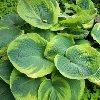 Maple Leaf Hosta