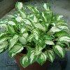 Pandora's Box Plantain Lily