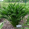 Praying Hands Plantain Lily