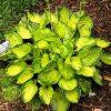 Rainforest Sunrise Plantain Lily