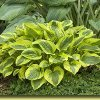 Tropical Storm Plantain Lily