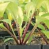Designer Genes Plantain Lily