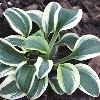Frosted Mouse Ears Plantain Lily