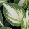 Trifecta Plantain Lily
