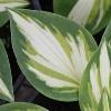 Trifecta Plantain Lily