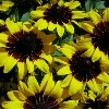 Denver Daisy Black Eyed Susan