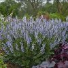 Crystal Blue Color Spires Salvia