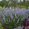 Crystal Blue Color Spires Salvia