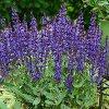 Violet Riot Salvia