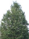 Green Column Black Maple