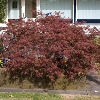Crimson Queen Cutleaf Japanese Maple