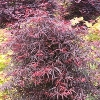 Hubb's Red Willow Japanese Maple