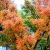 Lion's Mane Japanese Maple