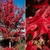 Morgan Red Maple