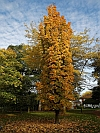 Temple Columnar Sugar Maple