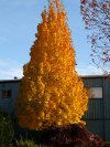 Apollo Pyramidal Sugar Maple