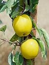 Golden Sentinel Apple