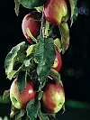 Scarlet Sentinel Apple