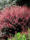 Roseglow Barberry